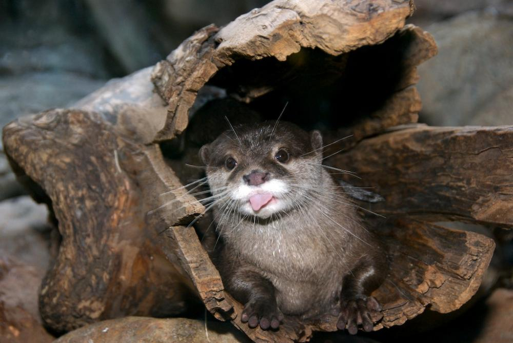 Asian-Small-clawed-Otter-0001.jpg