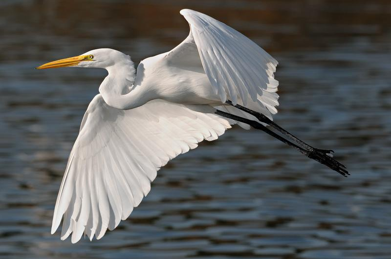 egret-nice-flight.jpg