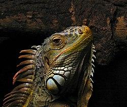 250px-Portrait_of_an_Iguana.jpg
