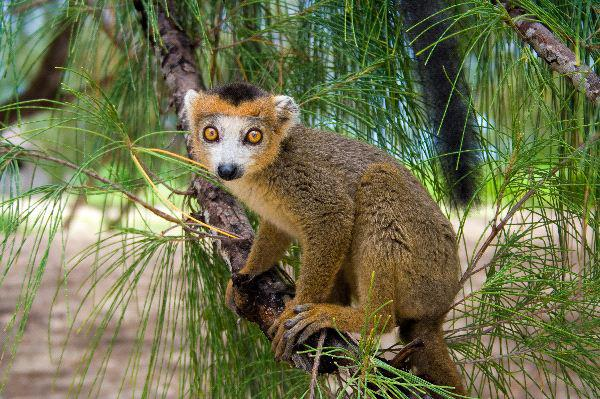 Crowned_Lemur_Endemic_Of_Madagascar_600.