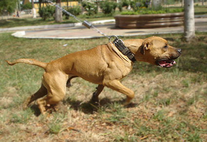 Pit Bull Bans - Rants & Raves - The Phoenixed Forums
